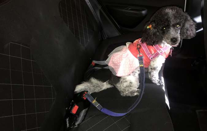 Pérola tem seu cinto pet preso a coleira e ao sistema convencional de segurança (foto: Thays Martins / Esp. DP )